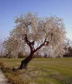 Almond trees - I want a driveway lined with them.
