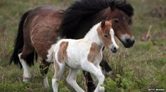 BBC News - Bleak future for Dartmoor ponies as value plummets....so sad