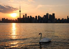 A swan on the water's edge at the Toronto Islands