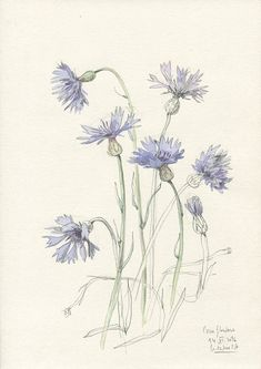 Cornflowers watercolour and pencil drawing ORIGINAL by CATILUSTRE