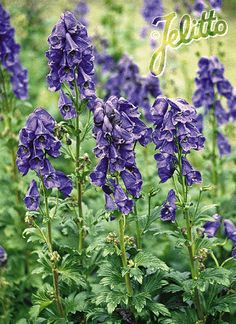 Aconitum carmichaelii acid - Google Search