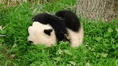 And when this one took tumbling to the next level. | 16 Times Pandas Were The Only Ones Who Mattered
