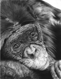 Original Animal Drawing by Laurence Saunois Monkey Drawing, Nature Artists, Africa Art, Animal Drawings, Drawing Animals, Charcoal Drawing, Illustrations, Art Graphique, Wildlife Art