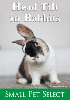 🐰 Knowing the signs of head tilt in rabbits is crucial so you can get your rabbit on the mend ASAP. Because, luckily for all of us, it's treatable. Head Tilt in Rabbits. How You Can Help Your Bunn. Funny Bunnies, Baby Bunnies, Cute Bunny, Bunny Rabbit, Big Bunny, Animals And Pets, Baby Animals, Cute Animals, Hamsters