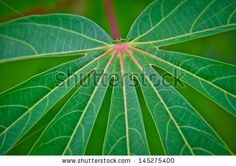 Leaves,Veins - stock photo