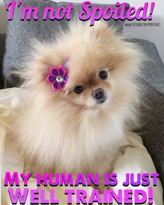 2518 Best Precious Pomeranians Images In 2019 Cute Dogs Cute