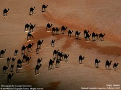 """This photo was taken from a birds' eye view. The white lines are camels; the black bits are their shadows."""