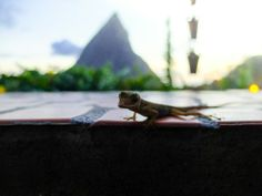 A friendly local in the bar Ladera Resort St Lucia, Bar, Animals, Life, Animales, Animaux, Animal, Animais