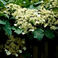 Climbing Hydrangea! This is a must have!