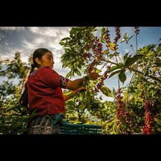 Picking coffee in Guatemala.