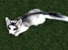 The adorable Canadian marble fox