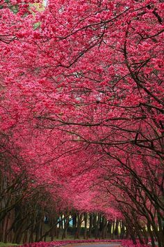 Arched vault of bright pink flowering trees.  The color is the same as redbuds, but these trees seem larger. Their blooming signifies it's spring and a beautiful time for seeing rosiness in the world.