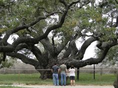 Visit The Big Tree, thought to be one of the oldest oak trees in the US (1000-2000 yrs), Goose Island/Rockport, TX.
