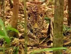 jaguar amazon rainforest french guiana #amazon more info http://www.braziltravelbeaches.com