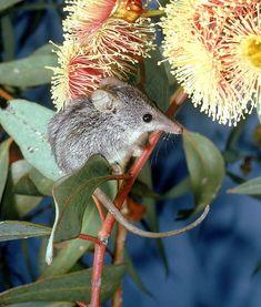 Honey possum  cuteness overload ;D
