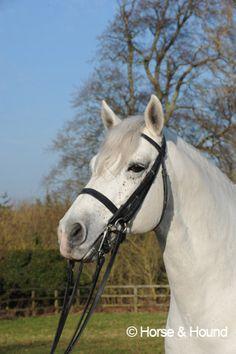 Lecarrow King - Connemara Stallion - owned by Henrietta Knight