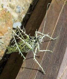 The Lichen katydid exhibits an exceptional mimicry that looks like a lichen. It lives in the canopy in northwestern countries of South America and eats leaves, flowers and seeds.