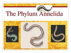 Phylum Annelida (Earthworm) Powerpoint Presentation