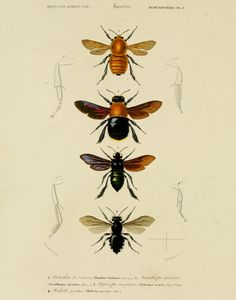 "Vintage Insect Bee Entomology Plate 9 (11"" x 14"" Print).via Etsy."