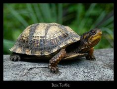 Are you thinking of buying a tortoise to keep? If so there are some important things to consider. Tortoise pet care takes some planning if you want to be. Kinds Of Turtles, Box Turtles, Land Turtles, Cute Turtles, Wood Turtle, Turtle Pond, Turtle Care, Pet Turtle, Tortoise Care
