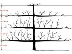 Here is an example of how to form an espalier tree. Image by Giancarlo Dessi.