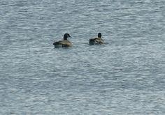 Bird Photos, Birding Sites, Bird Information: CANADA GEESE, HAMILTON BEACH, HAMILTON, ONTARIO, 2...