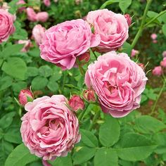 Louise Odier  Bred in 1851, this vigorous old garden rose remains popular for its strength as a cut flower, use in the landscape (it makes a stunning hedge!), constant supply of summertime blooms, and intense sweet fragrance.  Size: To 6 feet tall and 4 feet wide  Zones: 5-9