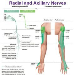 Best website to study peripheral innervation! radial and axillary nerves muscular and cutaneous innervation Axillary Nerve, Ulnar Nerve, Peripheral Nerve, Nerve Anatomy, Radial Nerve, Peripheral Nervous System, Muscle And Nerve, Medical Anatomy, Human Anatomy And Physiology