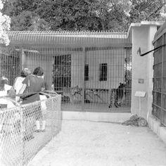 Tigers at the Crandon Park Zoo :Miami, Florida