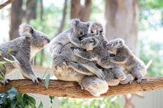 Maman Koala et ses bébés - joeys cling to an adult koala Koala mother and babies at Currumbin Wildlife Sanctuary - 16 Feb 2016 Credit: Photo by Luke Marsden/Newspix/REX/Shutterstock by parismatch_magazine Cute Baby Animals, Animals And Pets, Funny Animals, Nature Animals, Wild Animals, The Wombats, Tier Fotos, Pet Birds, Animals Beautiful