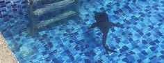 How baby whale shark ended up in resort pool (Eco Islanders Maldives) Conservation groups in the Maldives were startled to see the docile creature swimming in a hotel's saltwater pool. Saga's happy ending