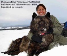 145 lb wolf yellowstone