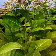Smoking Tobacco (Nicotiana Tabacum) 50 seeds  (#1367)