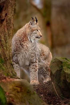 Lynx... ° Rumor has it there are a few of these in the Maine Woods.