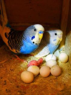 <3 Baby Budgies...we used to raise them. Given an opportunity, they reproduce like rabbits, lol. And most males are very attentive and loving parents as well.