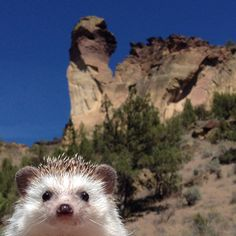 Pin for Later: Biddy the Hedgehog Has Traveled More Places Than You Biddy Steals a Selfie Super Cute Animals, Cute Little Animals, Cute Funny Animals, Cute Cats, Baby Animals Pictures, Cute Animal Pictures, Animals And Pets, Baby Hedgehog, Pygmy Hedgehog