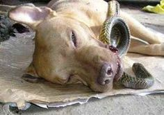 Pit Bull Saves Two Women From Deadly Cobra, Dies Wagging His Tail - From All Creatures Animal Stories * This made me tear up...what a heroic dog.