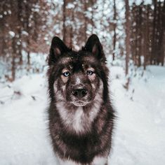 """Excellent """"Siberian husky"""" detail is offered on our web pages. Check it out and you will not be sorry you did. Best Dogs For Families, Family Dogs, Pretty Animals, Cute Animals, Beautiful Dogs, Animals Beautiful, Agouti Husky, Funny Dogs, Cute Dogs"""