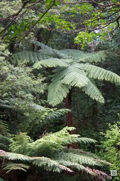 Silver Fern on Stewart Island, New Zealand