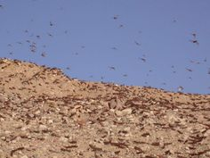 These short-horned grasshoppers can form highly mobile swarms, comprising more than 30 million locusts per square mile, which can travel up to 90 miles (150 kilometers) a day. Here an image from the 2004 desert locust swarm in Israel.