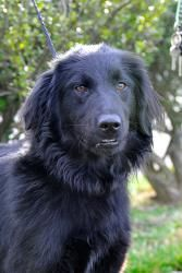 Madison is an adoptable Flat-Coated Retriever Dog in Johnson City, TN. Hi there! My name is Madison and I'm a medium-size 'adorable' Flat-Coat Retriever. Who thought my family would decide that they d...