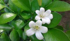 Flor de Mirto