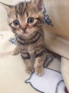 BSh kittens silver red chocolate like whiskers cat ready NOW! - Pets For Sale in the UK