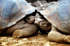 #Galapagos Island #turtles - we can see why Darwin was so intrigued!
