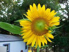 Sunflower # 2