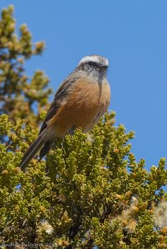 D'Orbigny's Chat-Tyrant (Ochthoeca oenanthoides) by Andres Puiggros