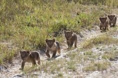 Family day out: These sweet-looking cubs are the offspring of Cecil the lion's five-year-o...