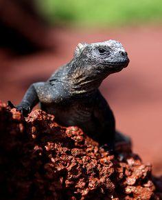 Marine #Iguana, #Galapagos. #lizard #reptile