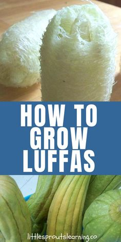 How to Grow Luffas. Did you know you can grow luffas in your garden? Luffa sponge plants are actually a gourd! Luffa growing is so much fun and it's easy too! How to grow and use loofah sponges and where to buy them. Luffa sponges are useful for the body, Organic Vegetables, Growing Vegetables, Organic Fruit, Gardening Vegetables, Gardening For Beginners, Gardening Tips, Gardening Supplies, Gardening Services, Gardening Books