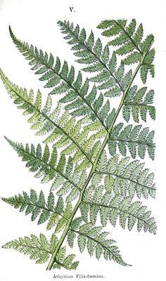 Botanical - Leaf - Fern, British Fern   (17)